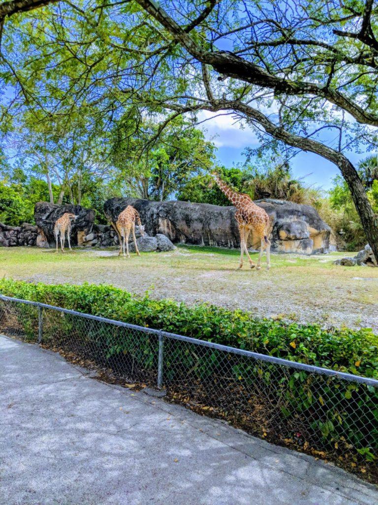 Giraffes Zoo Miami Winter Fun: Rediscover Miami in the Cold Mariela Bonomi Contributor Miami Moms Blog