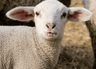 A white lamb (Passover and Easter Nutrition Hacks: Put ALL THE EGGS In Your Basket Monica Moreno Contributor Miami Mom Collective)