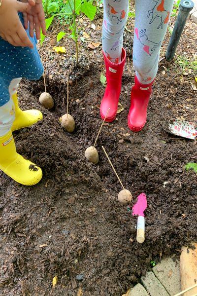 Planting potatoes (Aymee Blanco Contributor Miami Mom Collective)