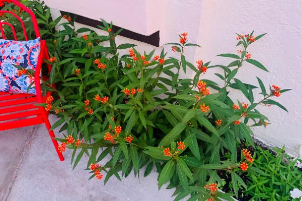 Milkweed plants (Butterfly Gardening in South Florida Jessica Alvarez-Ducos Contributor Miami Mom Collective)