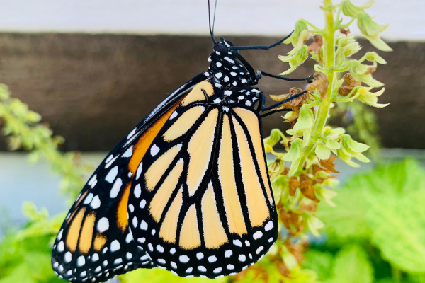A monarch butterfly on a plant (Butterfly Gardening in South Florida Jessica Alvarez-Ducos Contributor Miami Mom Collective)