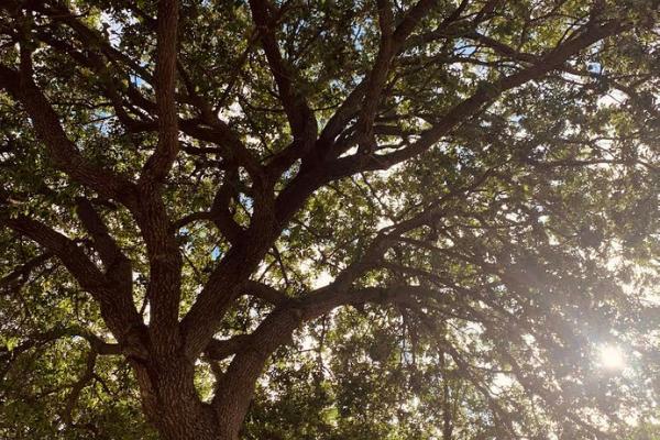 A beautiful oak trees (Love Where You Live: Why I Love Living in Miami Lakes Jacqueline Jebian Garcia Contributor Miami Mom Collective)