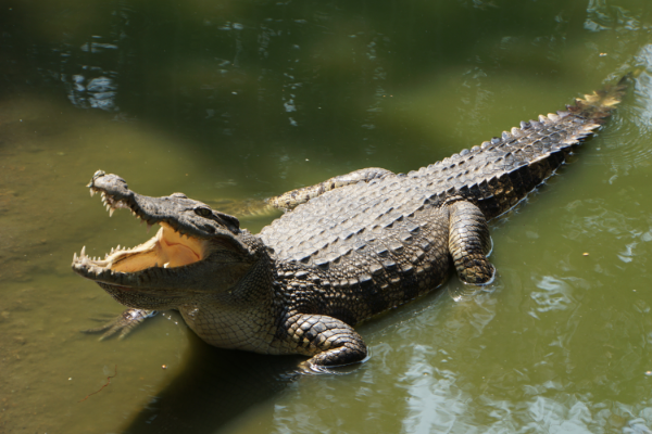Crocodile on Body of Water by Sergey Mishakov from Pexels MMC Contributor Jessica Alvarez-Ducos