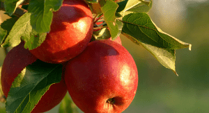 Apples growing on a tree (Fall's Most Fabulous Superfoods Your Plate Needs Monica Moreno Contributor Miami Mom Collective)